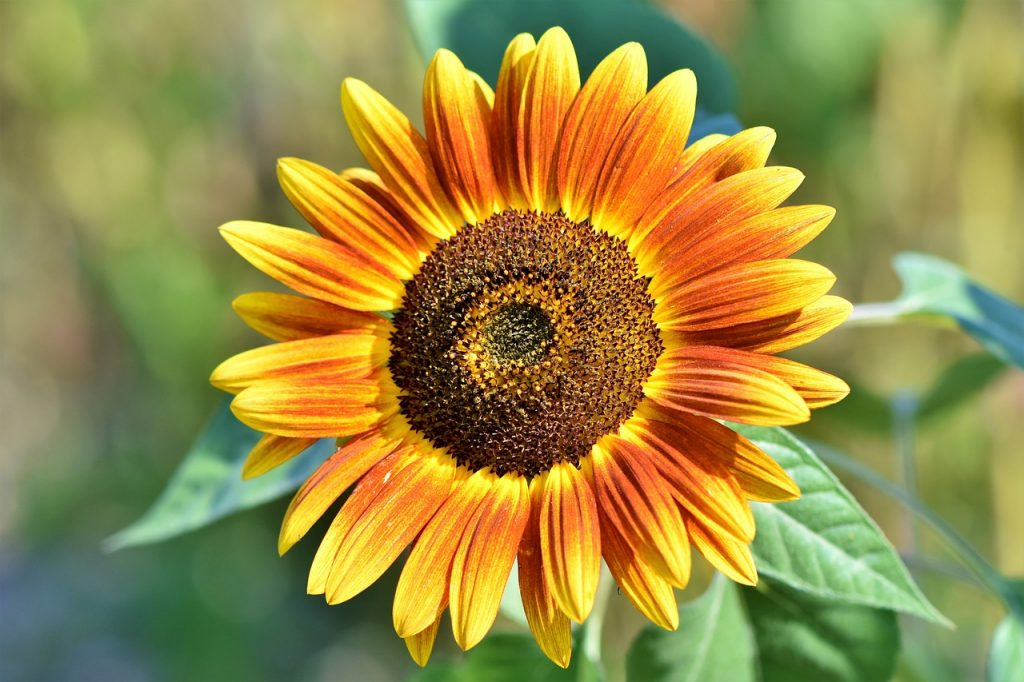 sunflower for show and tell
